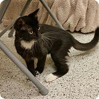 Adopt A Pet :: Mittens - Phoenix, AZ