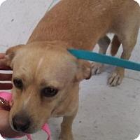 Chihuahua Mix Dog for adoption in Visalia, California - Ivan