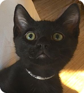Bombay Cat for adoption in Buhl, Idaho - Scout
