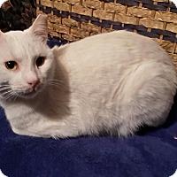 Adopt A Pet :: Turkish Siamese (Toby) - Houston, TX