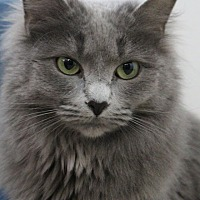 Domestic Longhair Cat for adoption in Colorado Springs, Colorado - Day