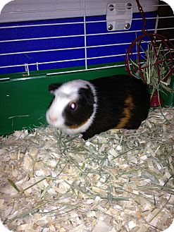 Guinea Pig for adoption in Lower Burrell, Pennsylvania - Buster