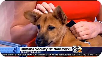Shepherd (Unknown Type)/Corgi Mix Puppy for adoption in New York, New York - Cathy