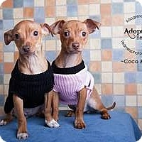 Adopt A Pet :: Coco and Chanel - Shawnee Mission, KS