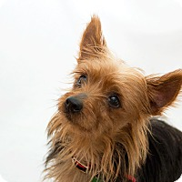 Adopt A Pet :: Cider - Cumberland, MD