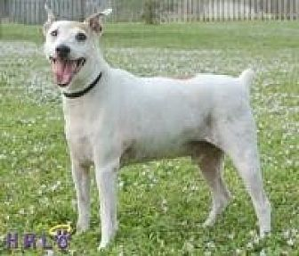 Jack Russell Terrier Dog for adoption in Sebastian, Florida - Sam