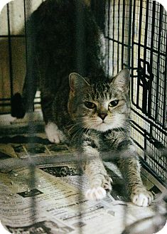 Domestic Shorthair Cat for adoption in Union, South Carolina - Miss BusyBody