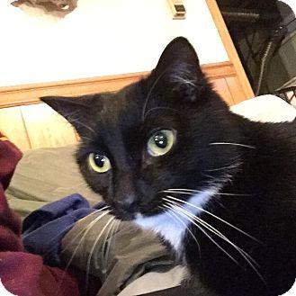Domestic Shorthair Cat for adoption in Plattekill, New York - Boots