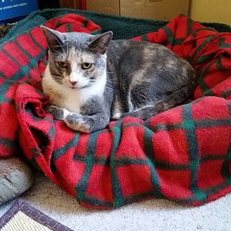 Calico Cat for adoption in Marlton, New Jersey - Carli