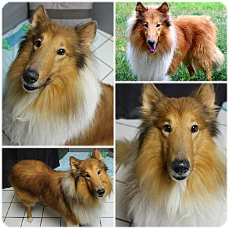 Collie Dog for adoption in Forked River, New Jersey - Arnie