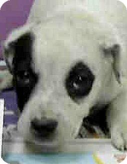 Labrador Retriever/Border Collie Mix Puppy for adoption in Boulder, Colorado - Asia-ADOPTION PENDING