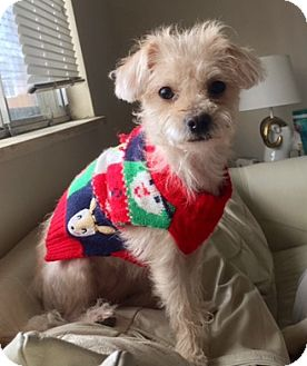 Poodle (Toy or Tea Cup) Mix Dog for adoption in Fort Collins, Colorado - Dream