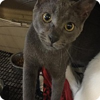 Domestic Shorthair Cat for adoption in Del Rio, Texas - Shadow
