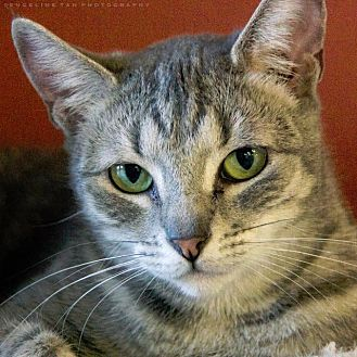Domestic Shorthair Cat for adoption in Houston, Texas - LEAH