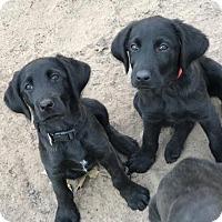 Adopt A Pet :: Naas - Denton, TX