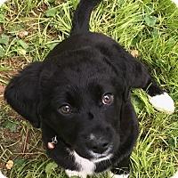 Adopt A Pet :: Boomer (ETAA) - Harrisonburg, VA