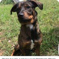 Adopt A Pet :: Lupin - Winsted, CT