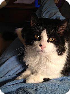 Turkish Angora Kitten for adoption in Pittstown, New Jersey - Claribel