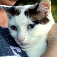 Siamese Cat for adoption in McKinney, Texas - Beauty