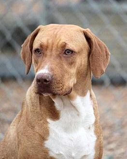 Labrador Retriever/Boxer Mix Dog for adoption in Jewett City, Connecticut - Nola Rae