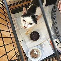 Domestic Shorthair Cat for adoption in Boca Raton, Florida - PETITE PETUNIA