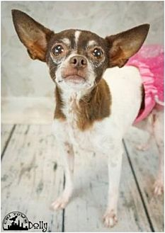 Chihuahua Mix Dog for adoption in Scottsdale, Arizona - Dollie