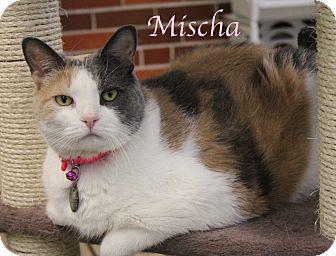 Domestic Shorthair Cat for adoption in Bradenton, Florida - Mischa