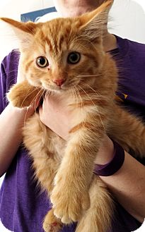 Domestic Longhair Kitten for adoption in Kalamazoo, Michigan - Scarecrow