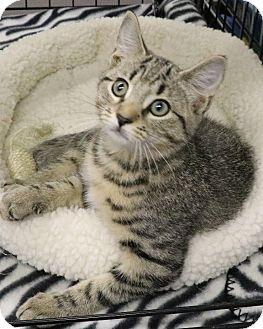 Domestic Shorthair Kitten for adoption in Rochester, New York - Joseph