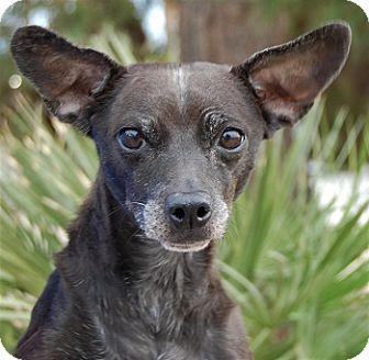 italian greyhound chihuahua - photo #37