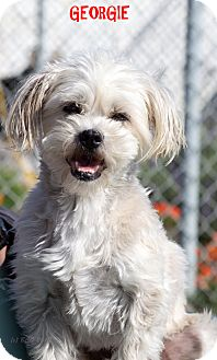 Shih Tzu/Jack Russell Terrier Mix Dog for adoption in Patterson, California - Georgie