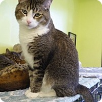 Adopt A Pet :: Muffin - Polydactyl - Westminster, CO