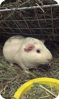 Guinea Pig for adoption in Pittsburgh, Pennsylvania - Oscar & Lewis