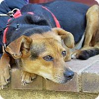 Beagle Mix Dog for adoption in Midlothian, Virginia - Bea the Beagle aka Orchid
