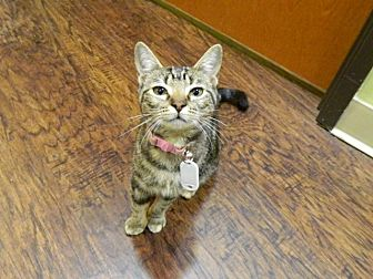 Domestic Shorthair Kitten for adoption in The Colony, Texas - Evan Rachel