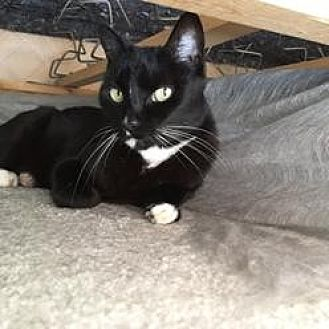 Domestic Shorthair Cat for adoption in Pt. Richmond, California - LEAH, PIP and MELLIE Three seniors in need