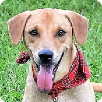 Labrador Retriever Mix Dog for adoption in San Francisco, California - Ivan