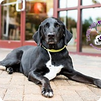 Great Dane/Doberman Pinscher Mix Dog for adoption in Huntersville, North Carolina - Beasley