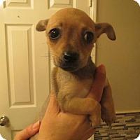 Adopt A Pet :: Chi Chi - Moreno Valley, CA
