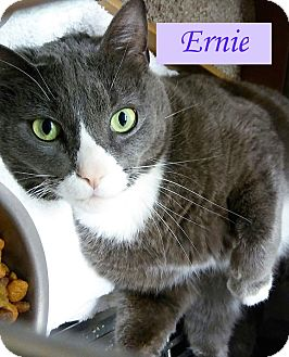 Domestic Shorthair Cat for adoption in El Cajon, California - Ernie
