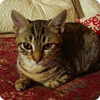 Adopt A Pet :: Puma - Bridgeton, MO