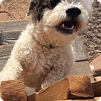 Adopt A Pet :: Mr. Kringle - Mesa, AZ