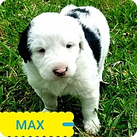 Adopt A Pet :: *MAX* - Weatherford, TX
