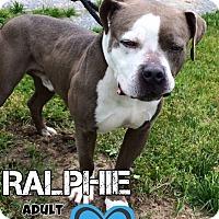 Adopt A Pet :: Ralphie - Jackson, NJ