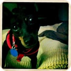 Miniature Pinscher Dog for adoption in Madison, Wisconsin - Marley