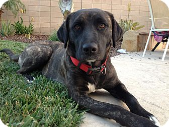 Labrador Retriever Mix Dog for adoption in Torrance, California - GYPSY