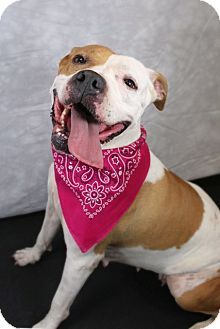 American Staffordshire Terrier Mix Dog for adoption in Midway, Kentucky - Megan