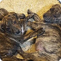 Adopt A Pet :: ASIA LITTER - Pompton Lakes, NJ