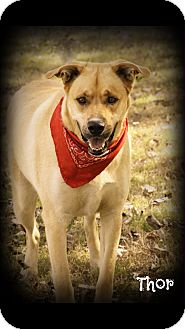 German Shepherd Dog/Labrador Retriever Mix Dog for adoption in Conway, Arkansas - Thor
