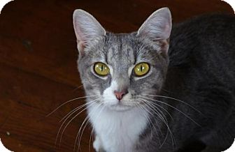 Domestic Shorthair Cat for adoption in Ellicott City, Maryland - .Skye